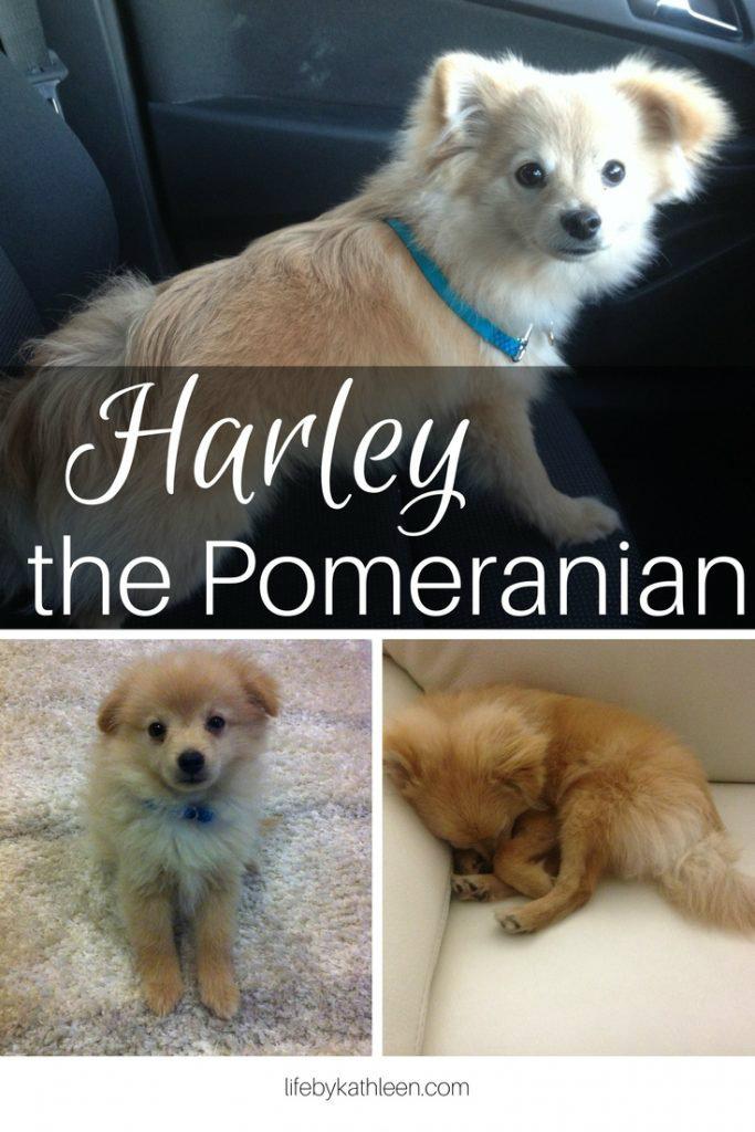 Harley the Pomeranian